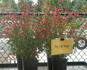 Hot Lips Sage