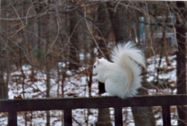 Sam the White Squirrel