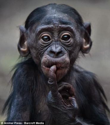BonoboFrankfurtZoo