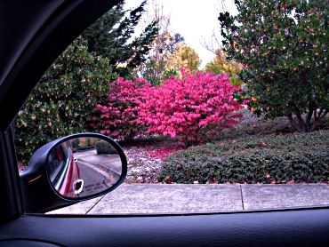 Red Bush From Car