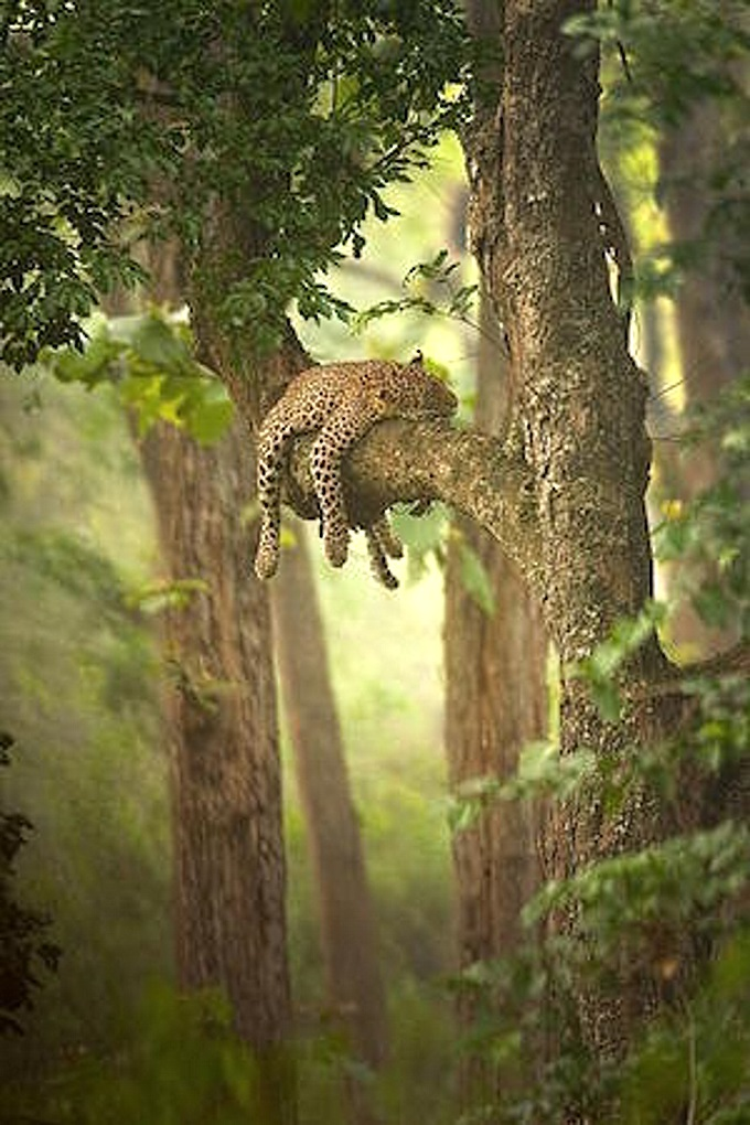 Leopardintree