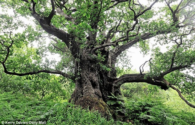 Thousand Year Old Oak