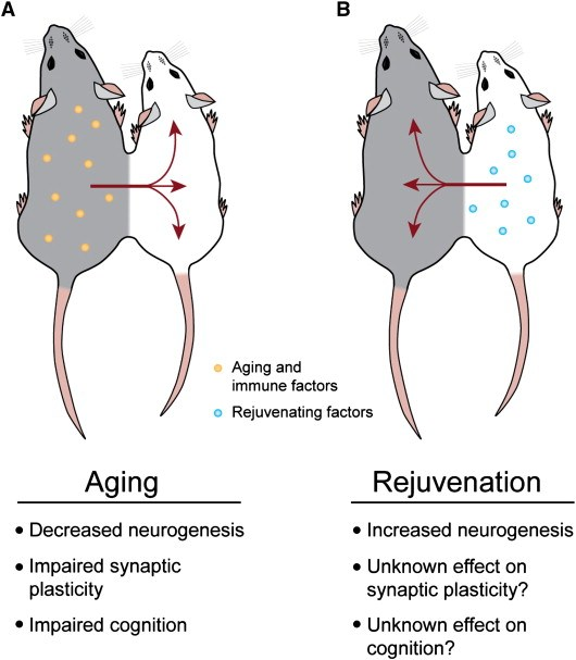 Mouse rejuvenation