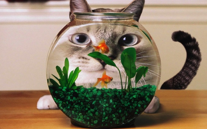 Funny-Cat-Watching-Gold-Fish-HD-Wallpaper