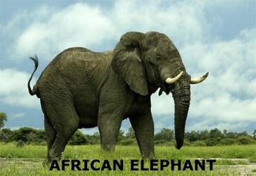 Fricanelephant2