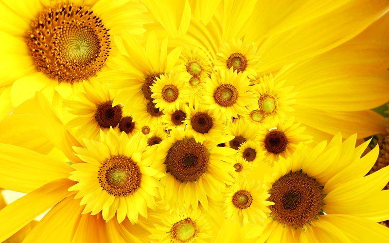 4185268-cool-sunflowers