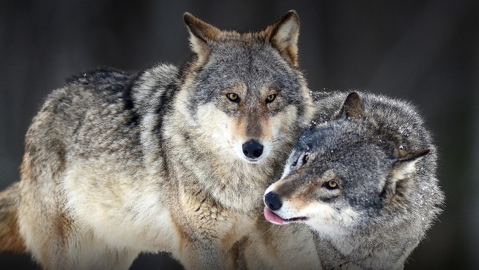 Hero_gray_wolf_animals