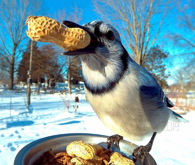 Birdfedder[peanuts