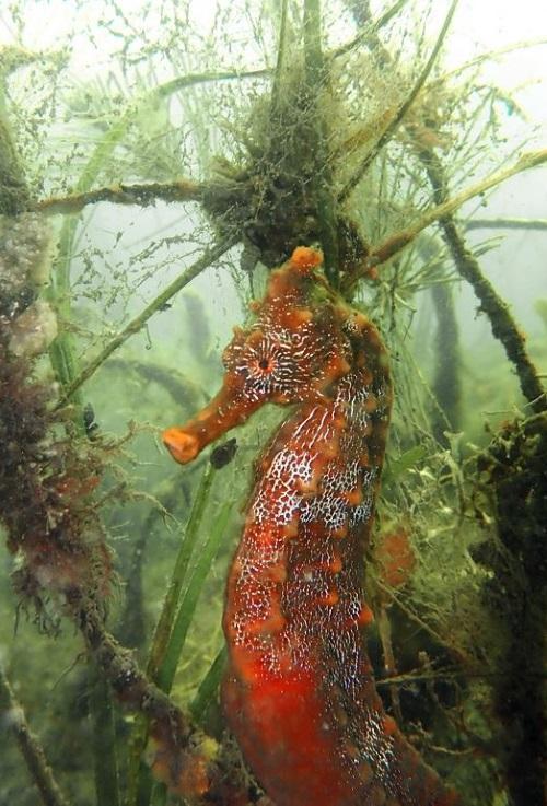 SeahorseDeepBlue
