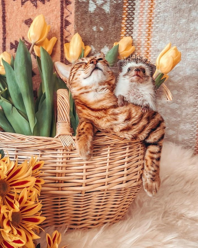 Hedgehog-bengal-cat-friendship