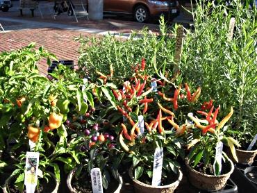 Pepperplants