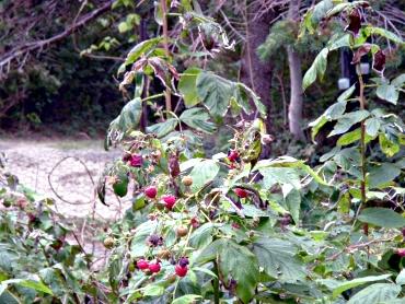 Raspberrybush